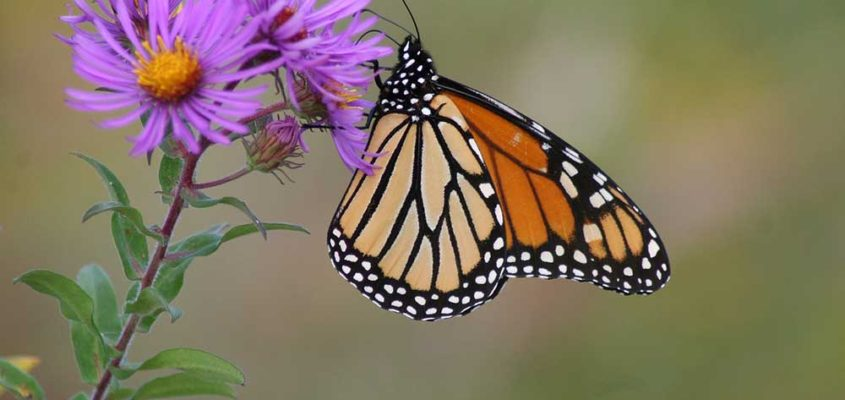 Flights of the Monarch Day
